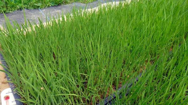 稲の根腐れ