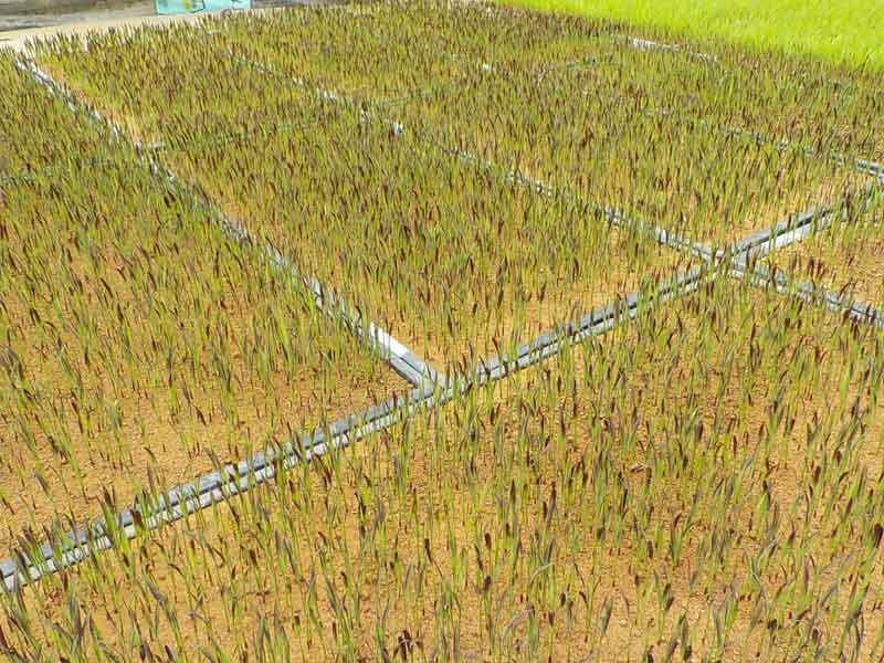 古代米の苗