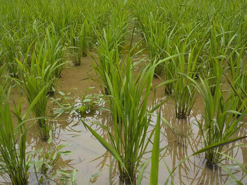 古代米田植えから1ヶ月