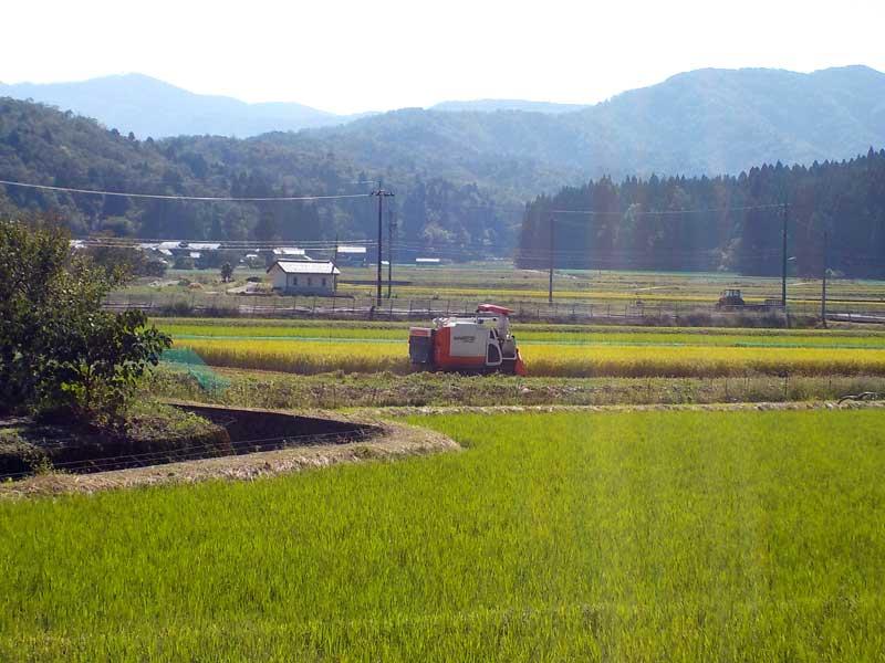 コシヒカリの稲刈り