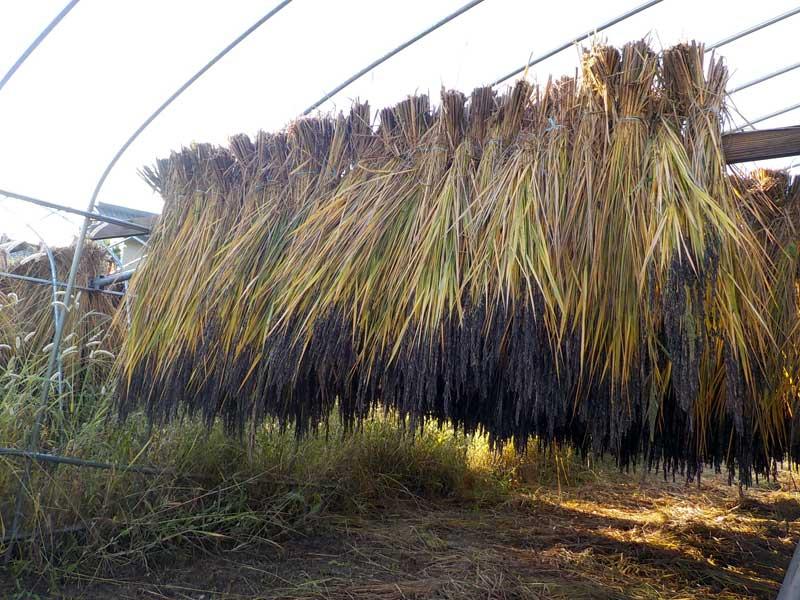 古代米の乾燥