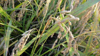 イモチ病で穂が枯れた稲
